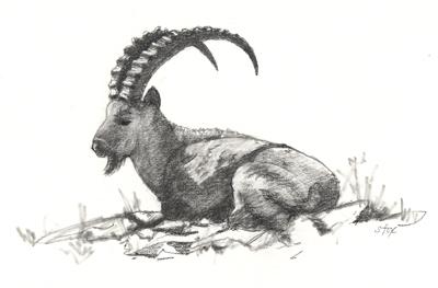 ibex-billy.jpg
