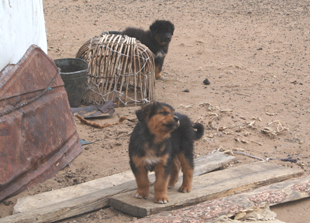 mongol-puppies-hustai.jpg