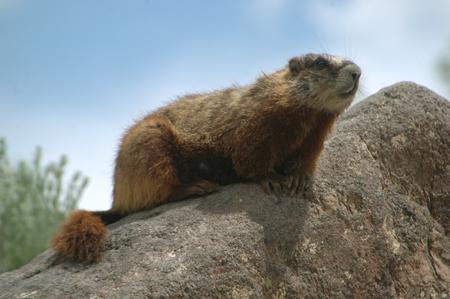nmwa-marmot.jpg