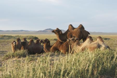 Bactrian camels, Arburd Sands