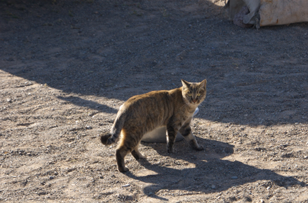 Cat at ger near Bayanzag in the Gobi