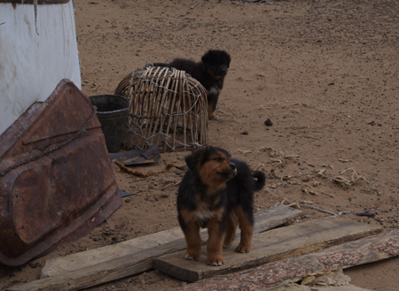 Mastiff puppies near Hustai National Park