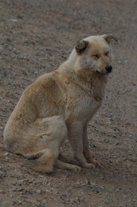 Dog seen by side of the road near Gorkhi-Terelj
