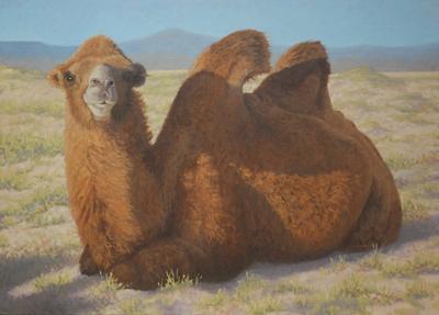 Bactrian Camel, Arburd Sands, Mongolia