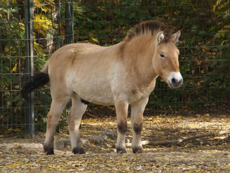 Takhi Stallion, Berlin Zoo, October 2004