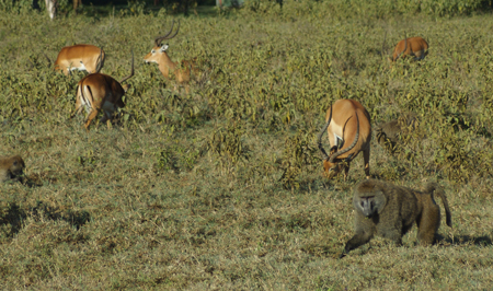 Impala and baboons