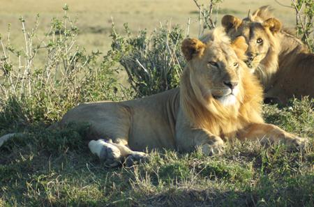 Young mara lions