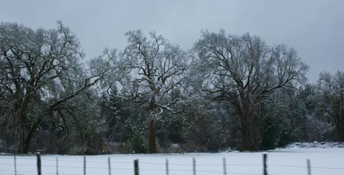 Oak trees just north of Laytonville, US101