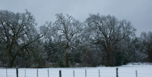 Oak trees just north of Laytonville, US101