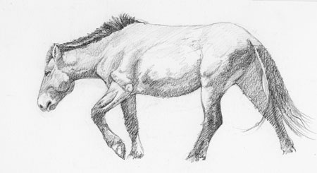 Takhi mare walking; charcoal pencil on cold-press bristol