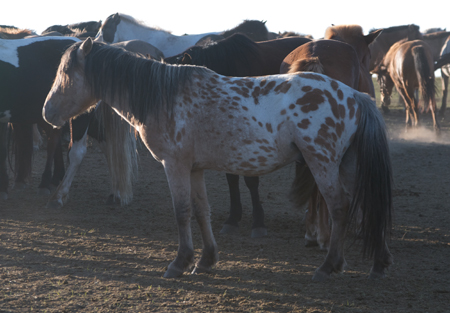 Mongolian horse, Arburd Sands
