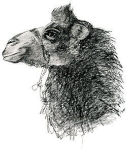 Bactrian camel head study