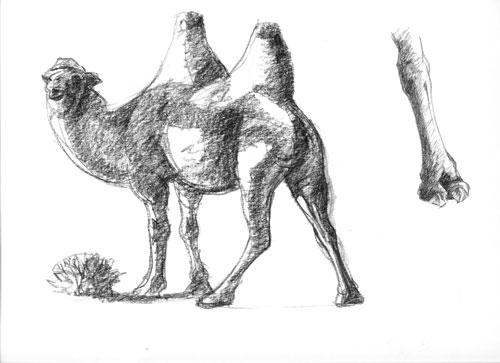 camel drawings – Susan Fox