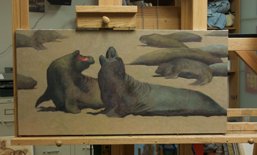 Young male elephant seals