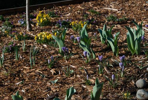 Pansies, Pickwick crocus, tulips