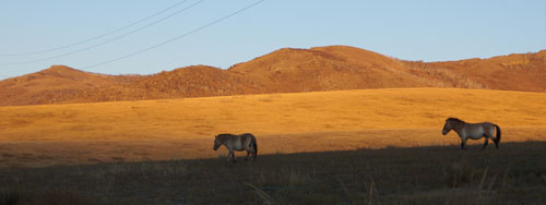 Takhi Mare and Stallion at sunrise, Hustai National Park