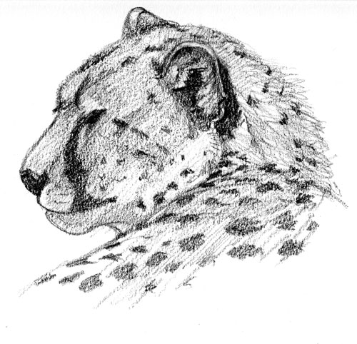 Cheetah, Masai Mara, Kenya 2004