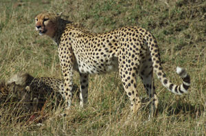 Cheetah 8:45:14