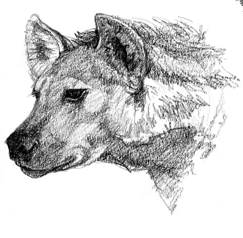 Hyena female, Denver Zoo 2008
