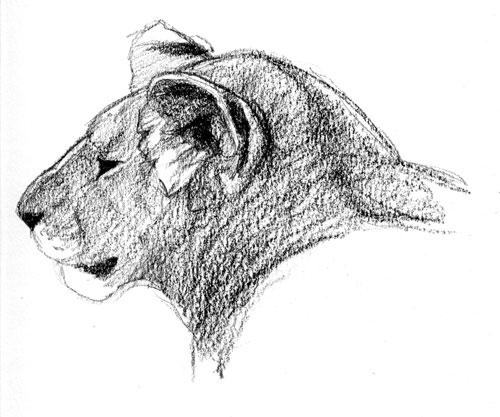 Lioness, Denver Zoo 2008