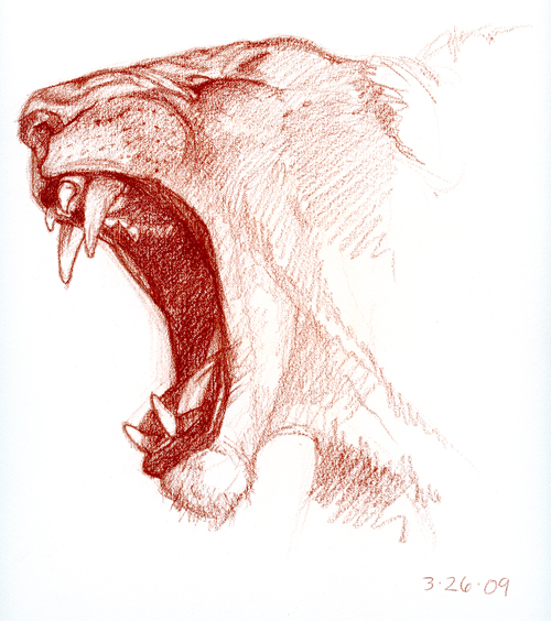 lioness-yawning