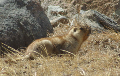 Siberian marmot, Hustai National Park