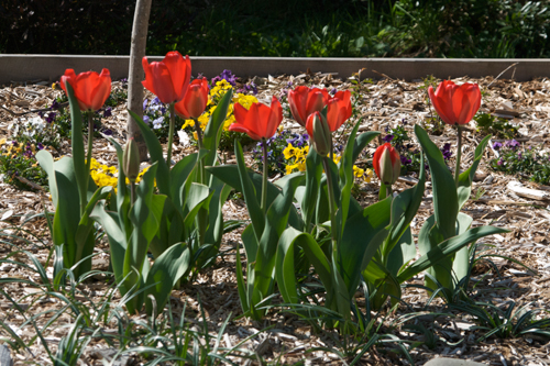 tulips2009-03-191