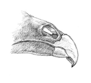 vulture-nose