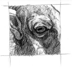bighorn-eye