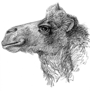 camel-head