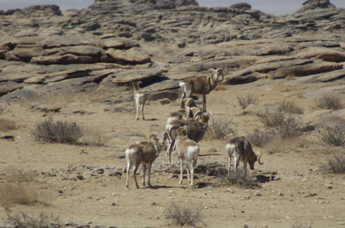 "My ""grand finale"" sighting in 2005; a good-sized group; note the ewe left front wearing a radio collar"
