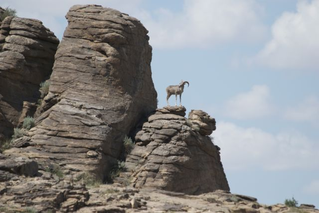 Argali ewe on rock