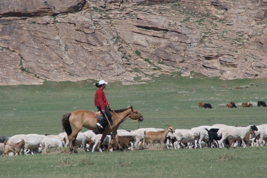 Traditional herding of goats and sheep