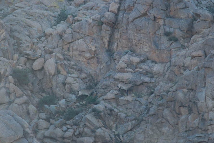 Ibex; two large billies