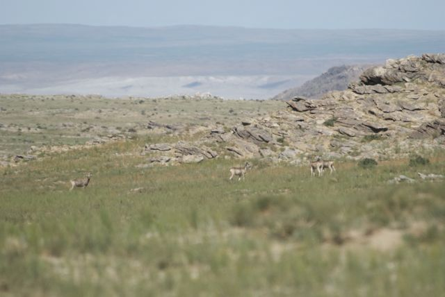 Four argali that we saw as we left the reserve this morning
