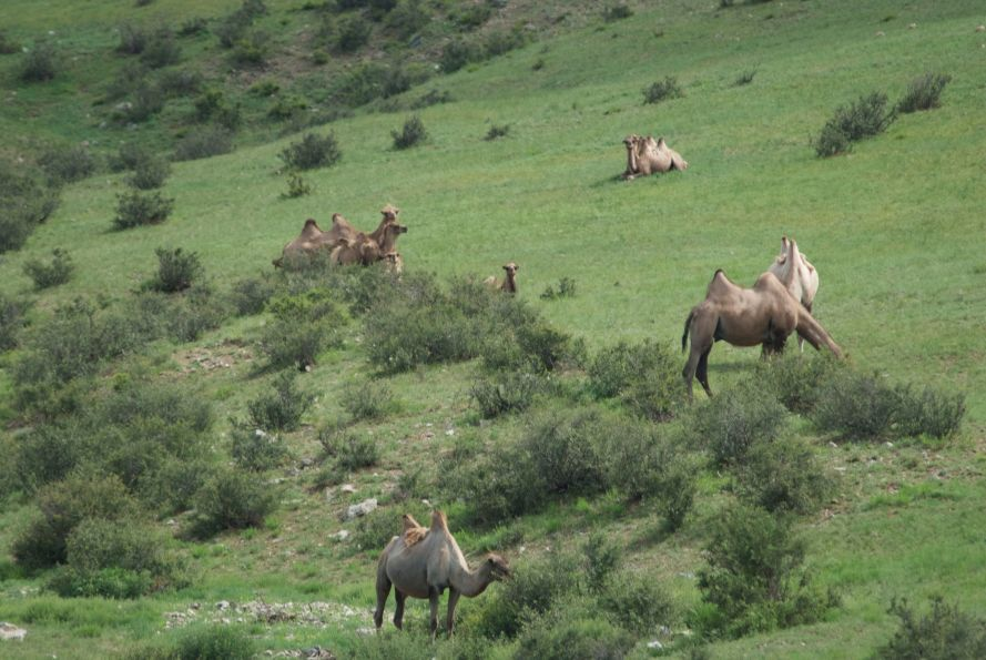 Domestic bactrian camels