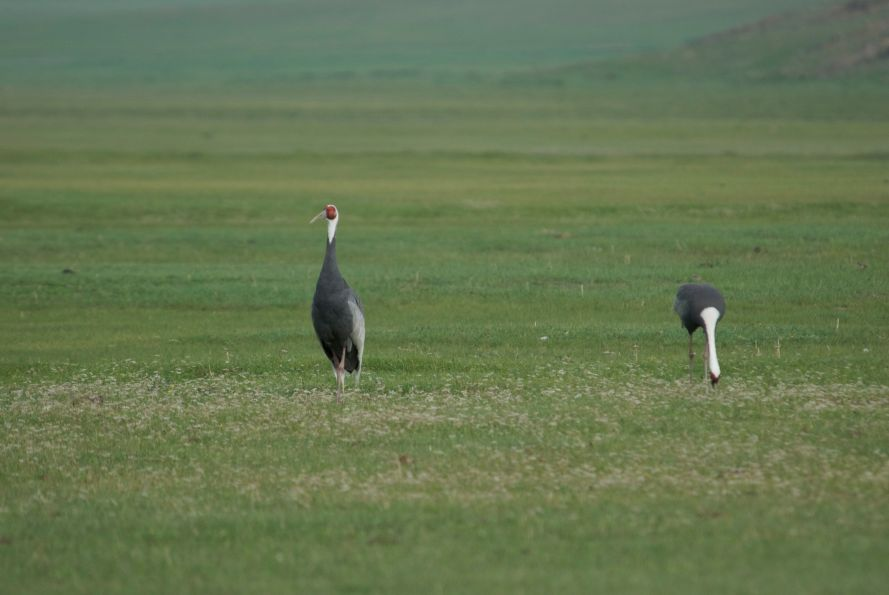 Endangered Siberian white-napped cranes; one of three pair in the reserve