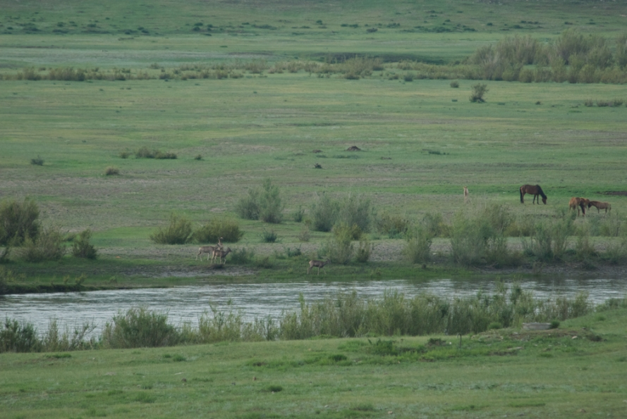 The group of argali down at the Kherlen River