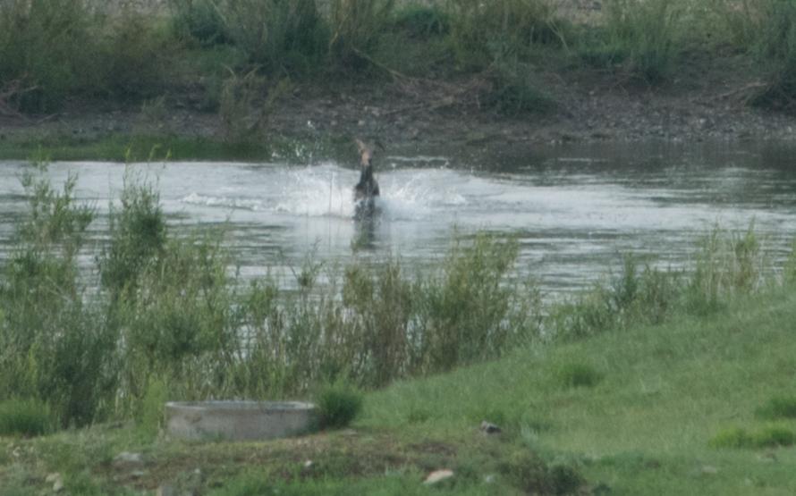 Detail: swimming across the Kherlen River