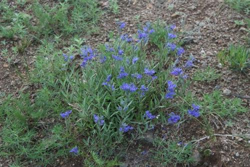 Bluebeard plant