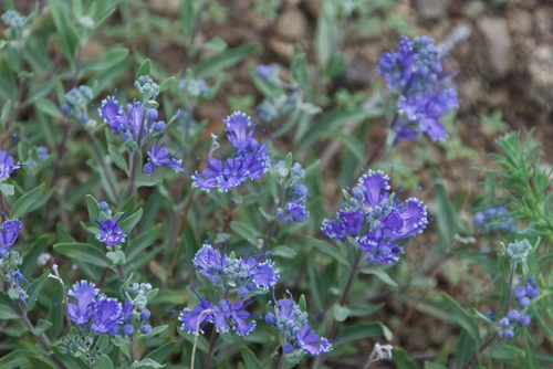 Bluebeard, Caryopteris mongolica