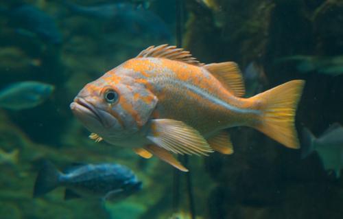 Calif.-fish