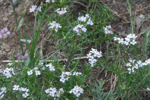 Haplophyllum, Haplophyllum dauricum