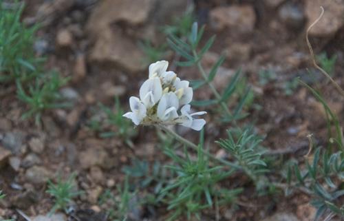 Milk vetch, Astragalus galactites