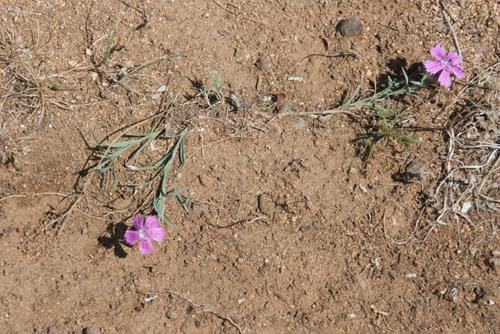 Pink, Dianthus versicolor