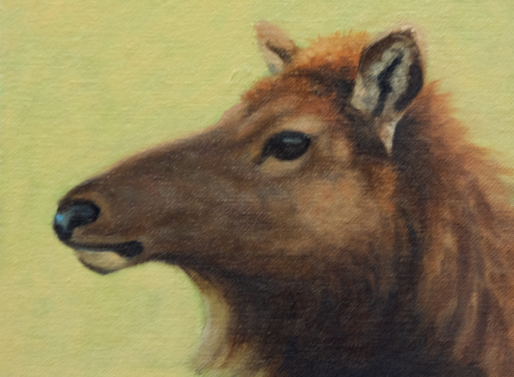 "Roosevelt Elk Study 6x8"" oil on canvasboard"