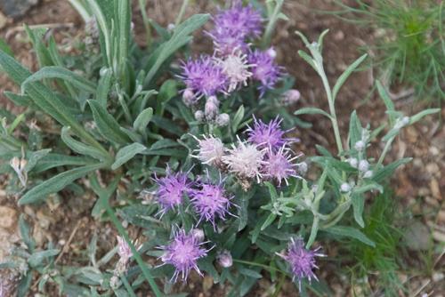 Sawwort, Saussurea amara
