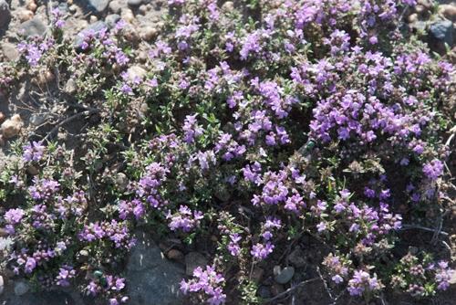 Thyme, Thymus globicus