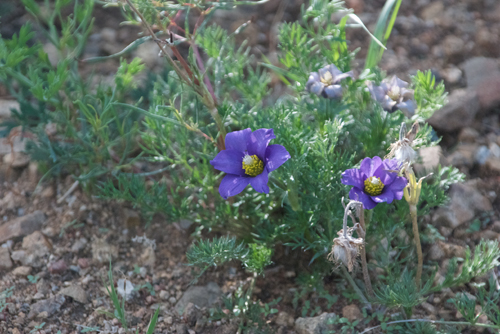 Unknown; guide said it was not a pasque flower since bloom season for that is earlier