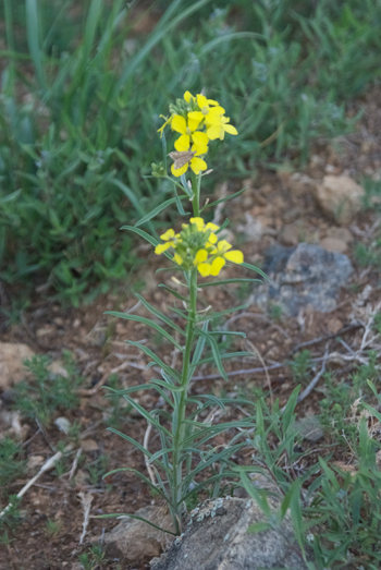 Wallflower, Erysimum flavum